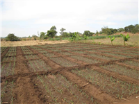 Treadle pump irrigation-Newly transplanted onions